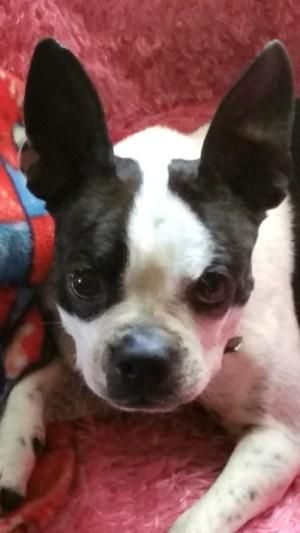 Adopt Mason On Boston Terrier Lover Boston Terrier Rescue Boston Terrier Dog