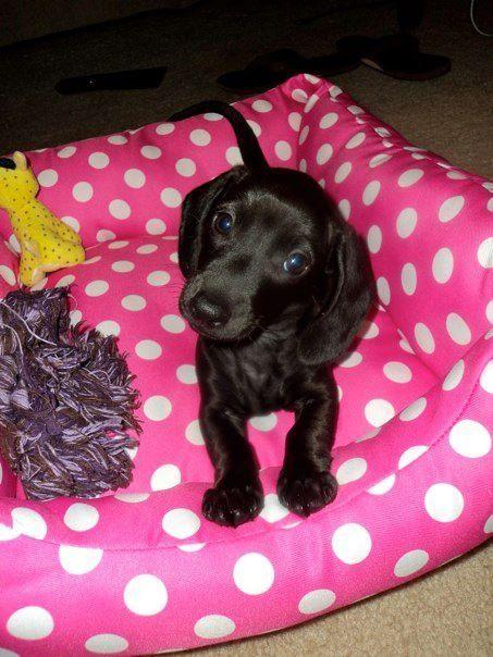 My All Black Miniature Dachshund Minnie Love My Minnie Girl More