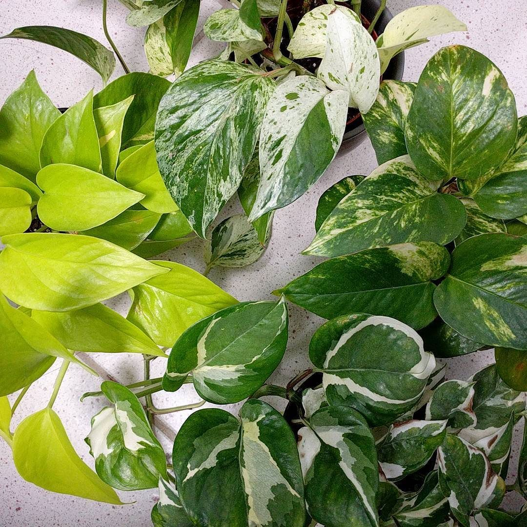 (clockwise from top) marble queen, golden, n'joy, neon #pothos #epipremnum #scindapsus