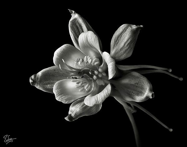 Columbine in Black and White | Black & White Photography | Pinterest