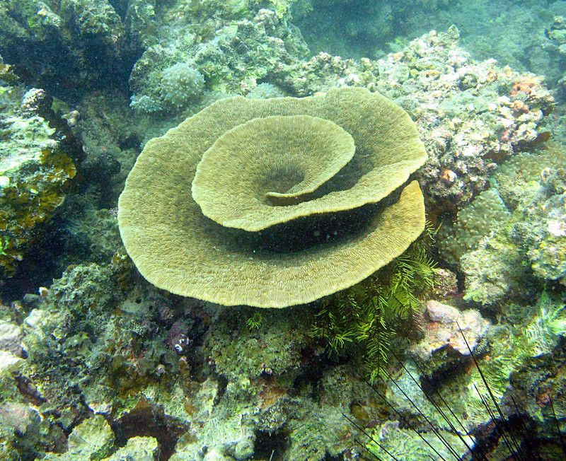 spiral coral google search coral reef photo essay spiral coral google search