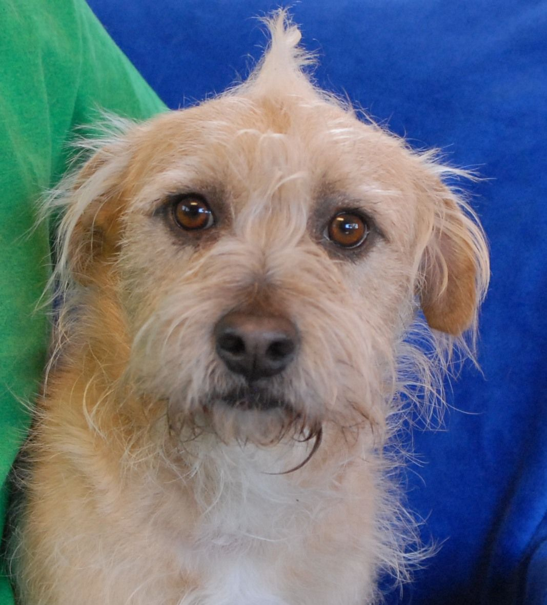 Puck Is A Lovable Young Terrier Mix Ready To Give His Whole Heart And Unconditional Devotion To Someone In Exchange For A Dog Adoption Cute Animal Photos Dogs
