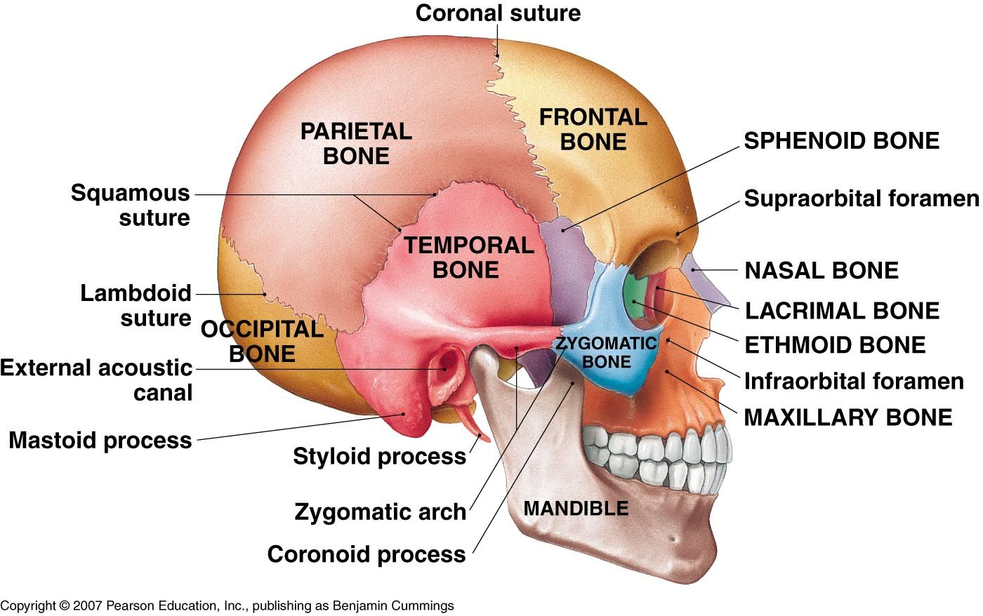 lateral view of the human brain - Google Search | Skeletal and Axial ...