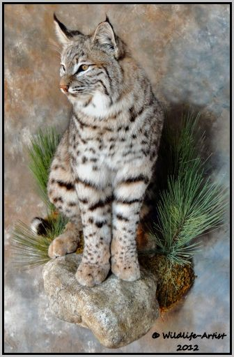 Bobcat Mounts Google Search Bobcat Mounts Taxidermy
