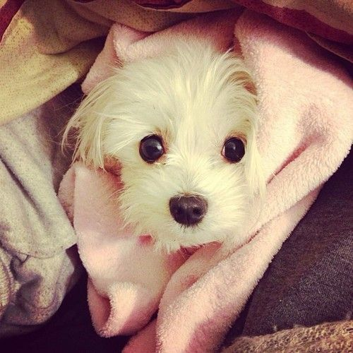 Maltese peeking out from under the covers...