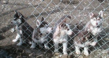 Siberian Husky  Puppy Breeding Kennels, Highgate Springs,Vermont, New England, USA