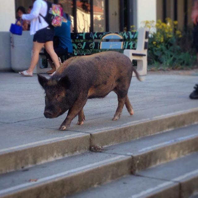 "@idthepoet's photo: ""#pig #lateforclass #sdsu""   San diego ..."