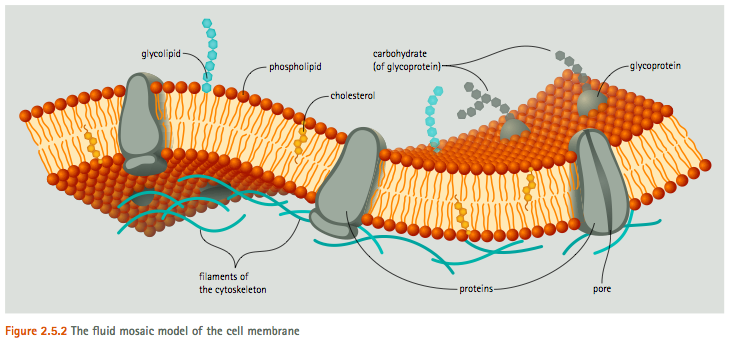 Cell Membrane Diagram For Kids