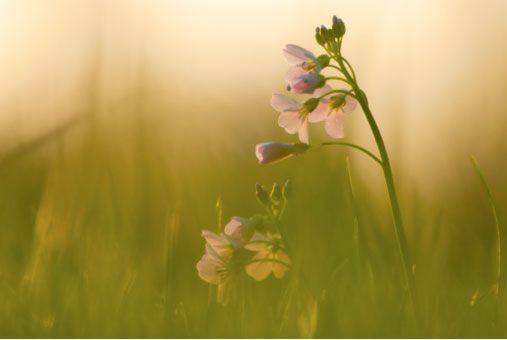 Pinksterbloemen door het gras heen gefotografeerd, met de camera plat op de grond. Gebruik makend van een wijd open diafragma en tegenlicht leverde dit een softe foto op. 1/125 – f/8 – ISO200 – 300mm