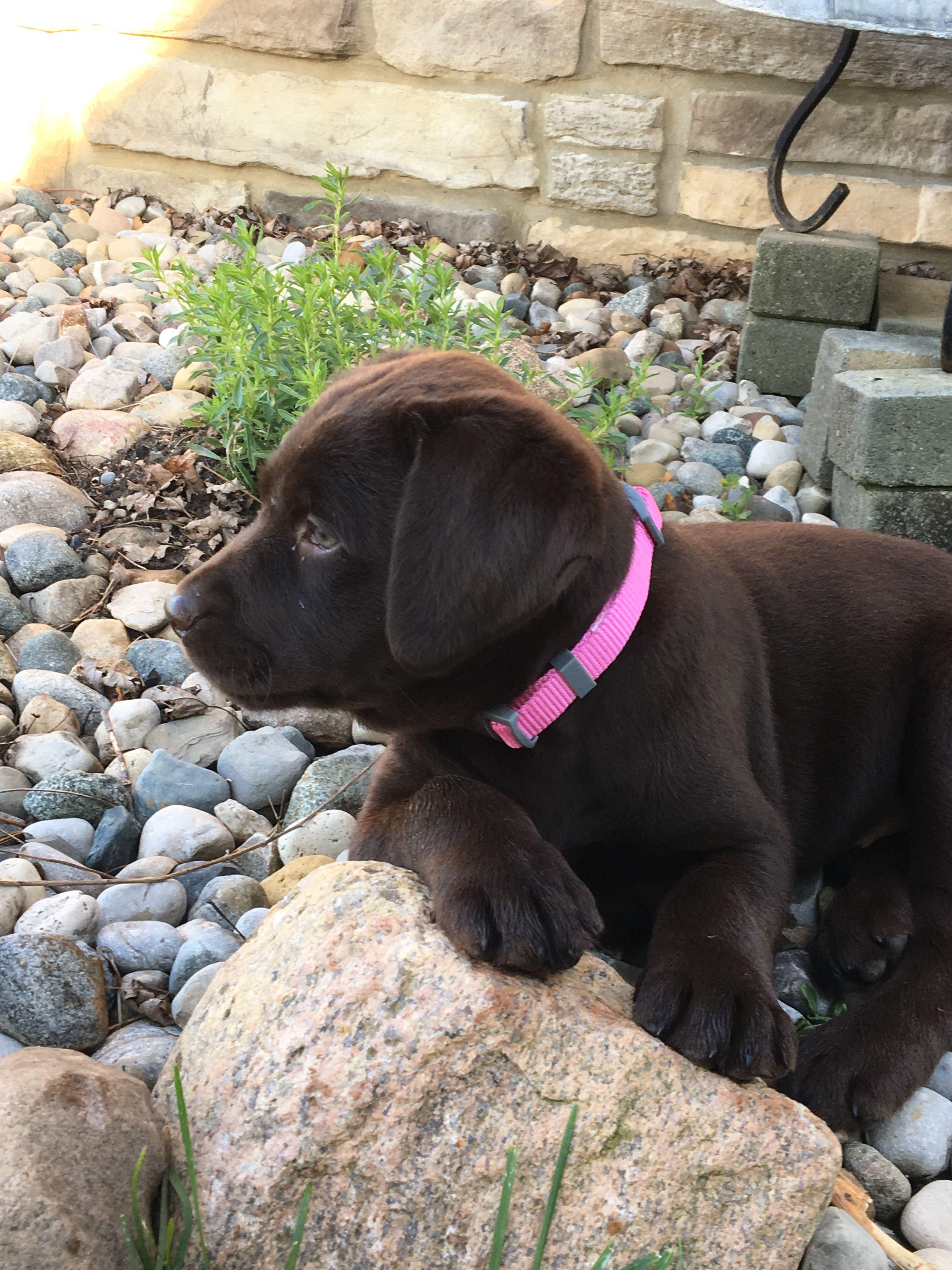 Chocolate Lab Puppy Bella Labrador Retriever Labrador Retriever