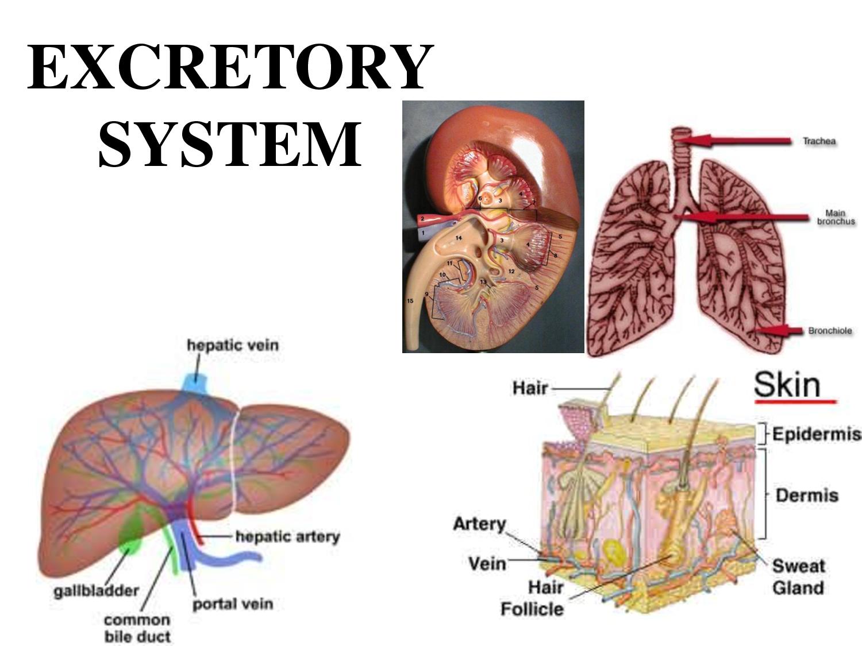 Excretory System Diagram Pelautscom