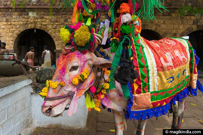 Image result for pongal cows