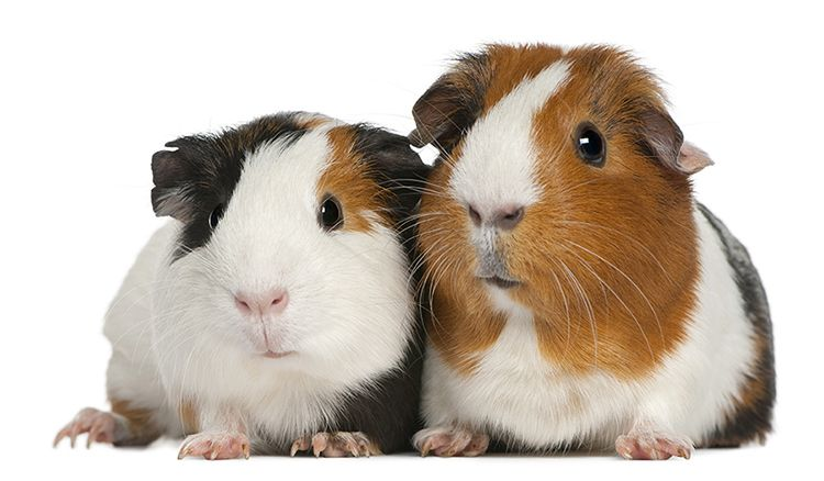 Pin On Guinea Pig Breeds