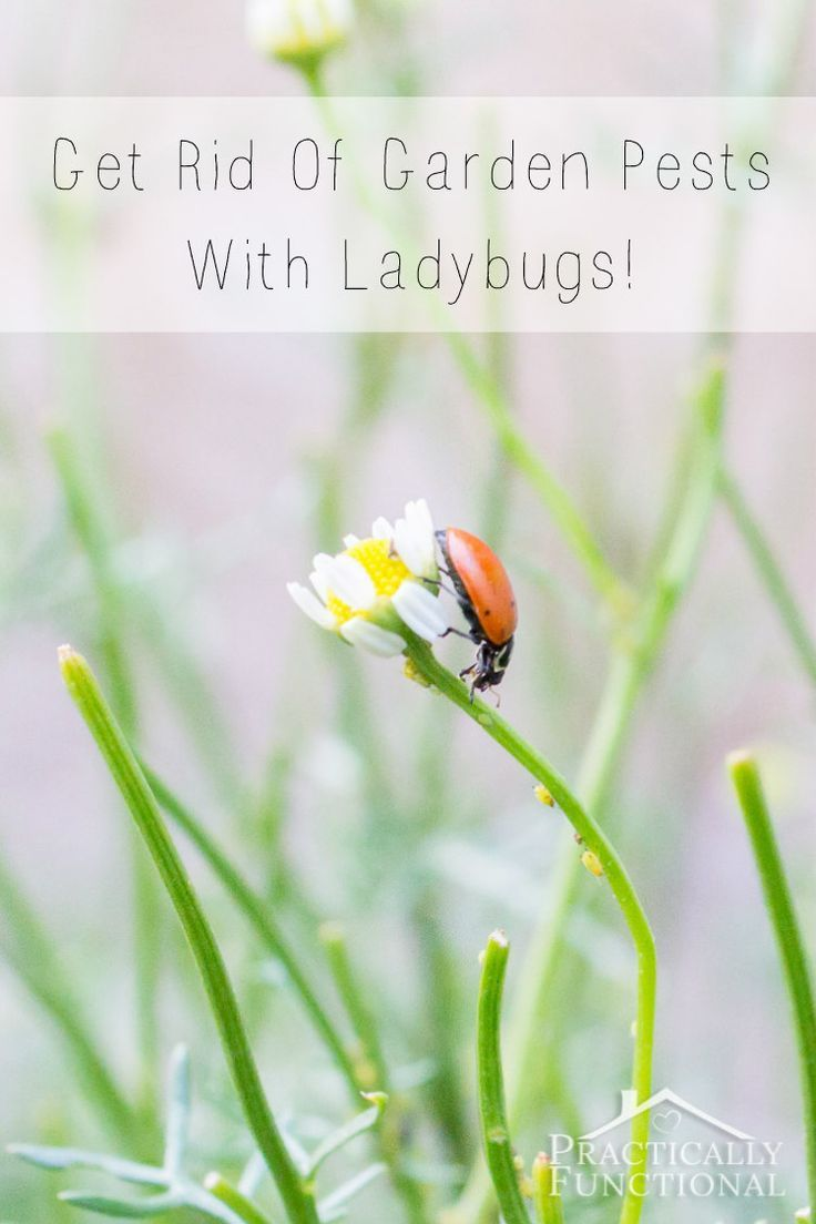 How to get rid of garden pests with ladybugs gardens - How to get rid of bugs in garden ...
