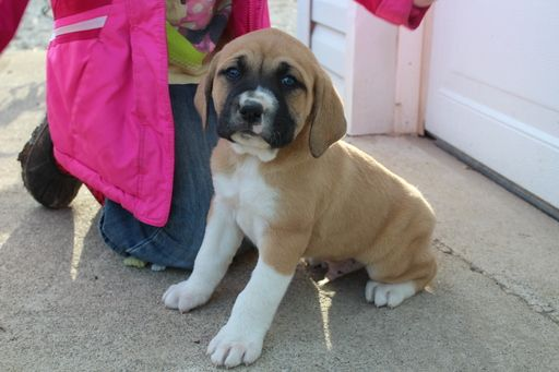 Litter of 4 BoxerGreat Pyrenees Mix puppies for sale in