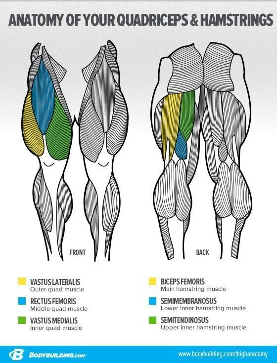 Quadriceps And Hamstrings Body Pinterest Anatomy And Exercises