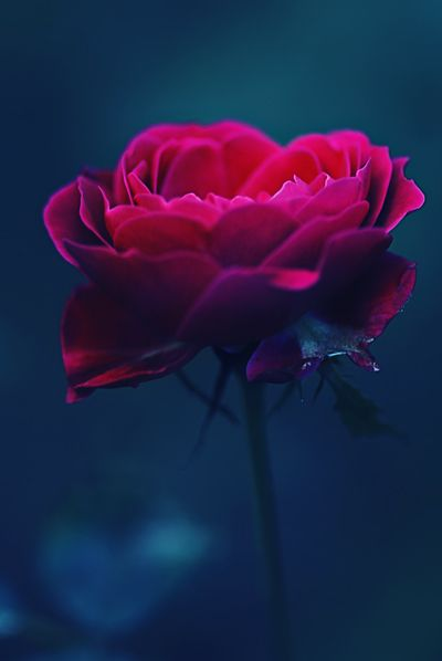 Magenta A Hot Pink Rose Against A Deep Turquoise Blue Make For A