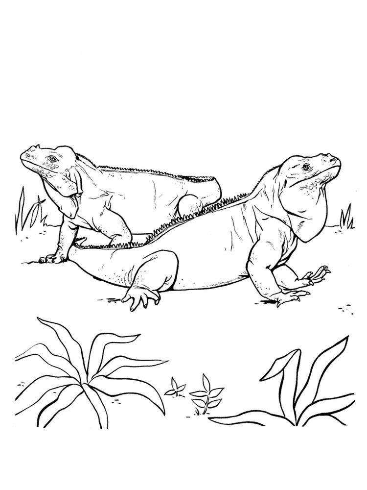 Iguana Coloring Pages Picture Animal Drawings Animal Coloring