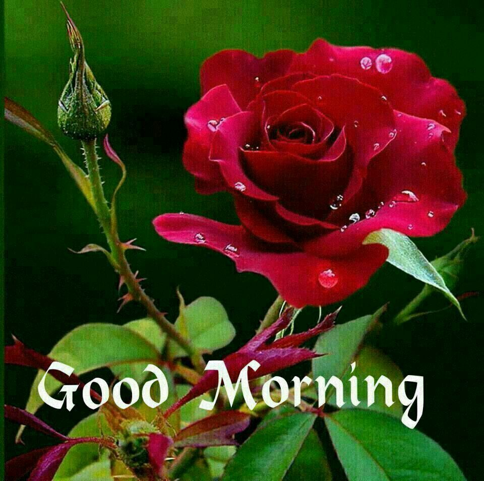 Image Of Good Morning With Rose Top Colection For Greeting And