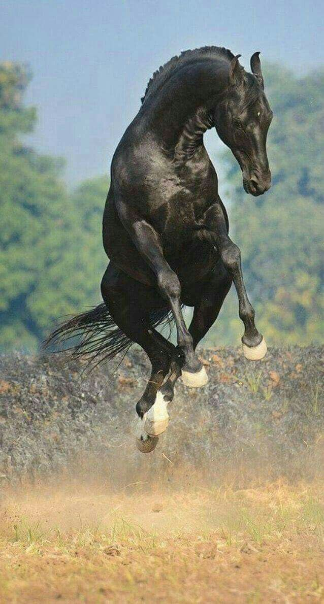 В движении | Красивые лошади, Лошадиные породы, Фризская ...