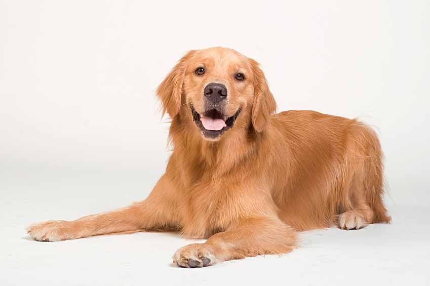 O P Female Names For Dogs Dogs Golden Retriever Golden