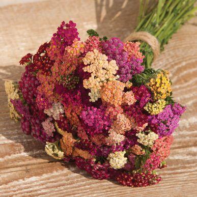 'Colorado Mix' Yarrow - Certified Organic