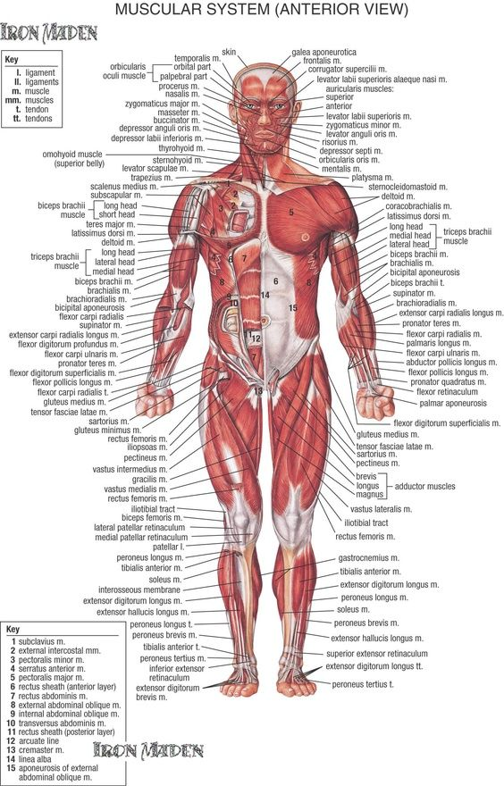 Muscles, muscles, and more muscles | FYI | Pinterest