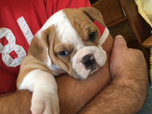 Litter Of 7 Olde English Bulldogge Puppies For Sale In Oneida Il