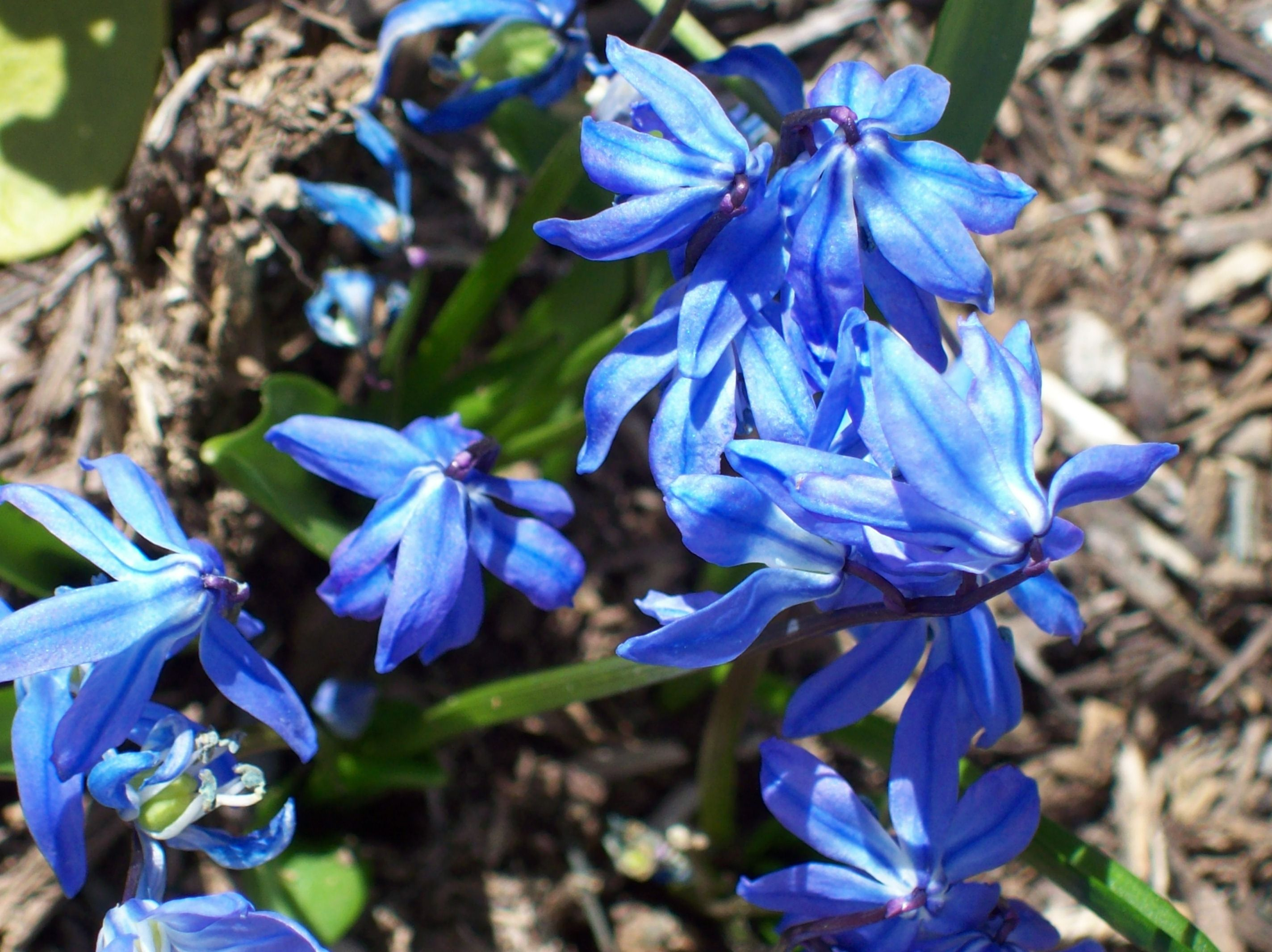 Love the blue shade of these flowers
