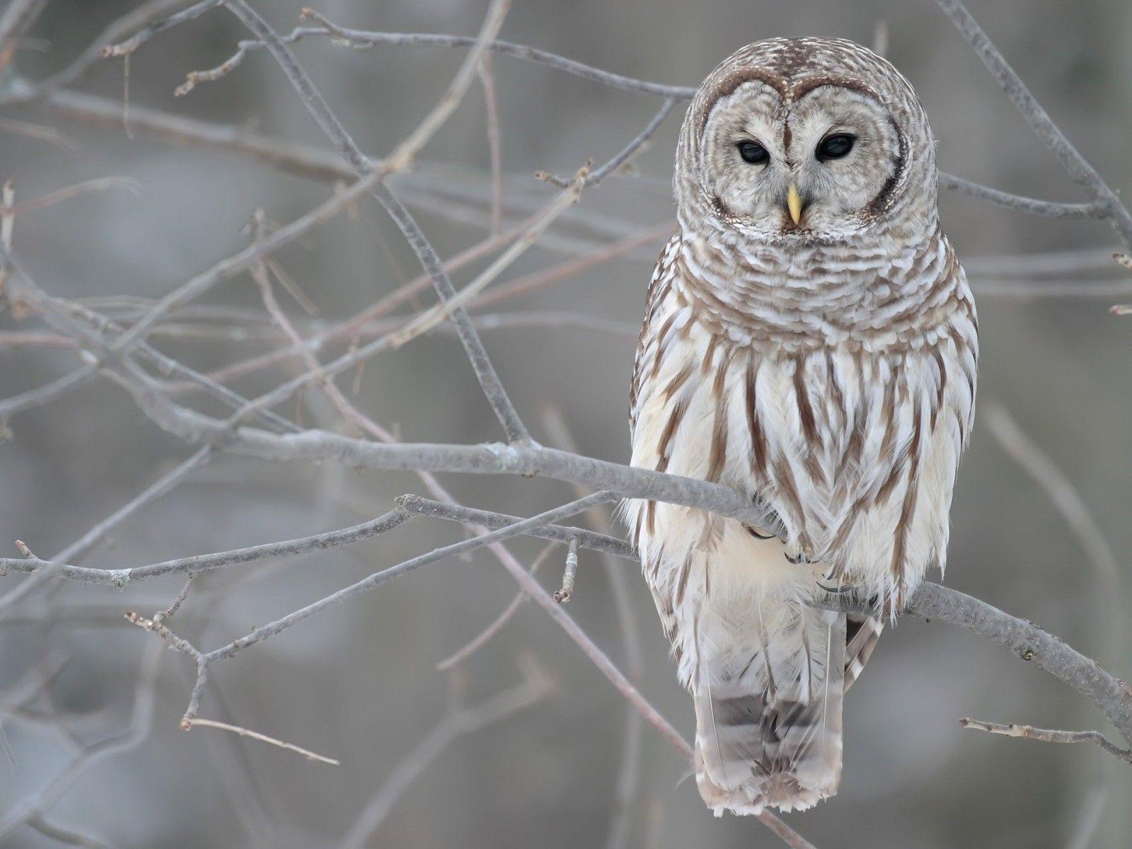 Snowy Owl Wallpapers Wallpaper