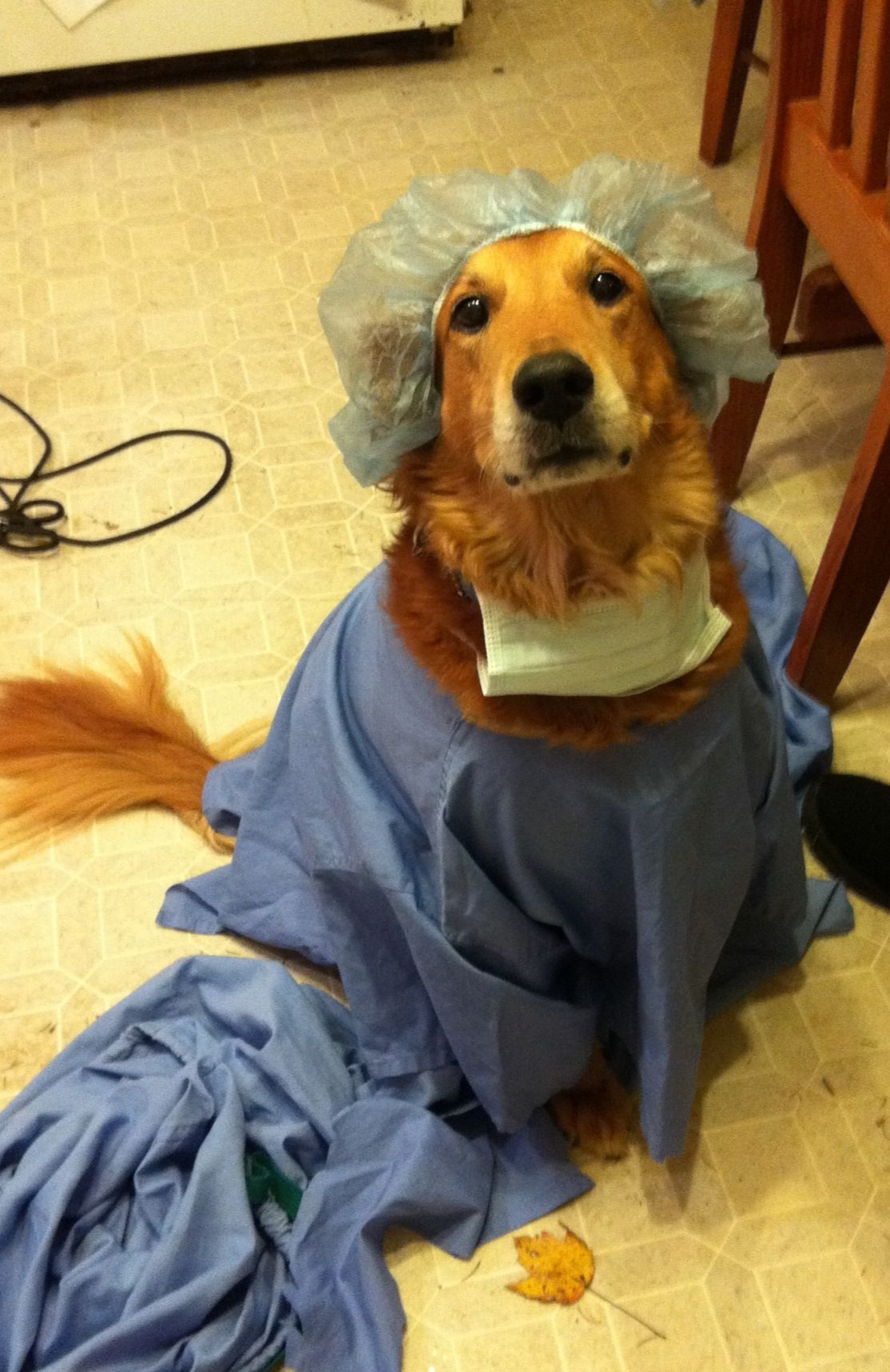 dr. nick the golden retriever:) | dog halloween costumes | pinterest