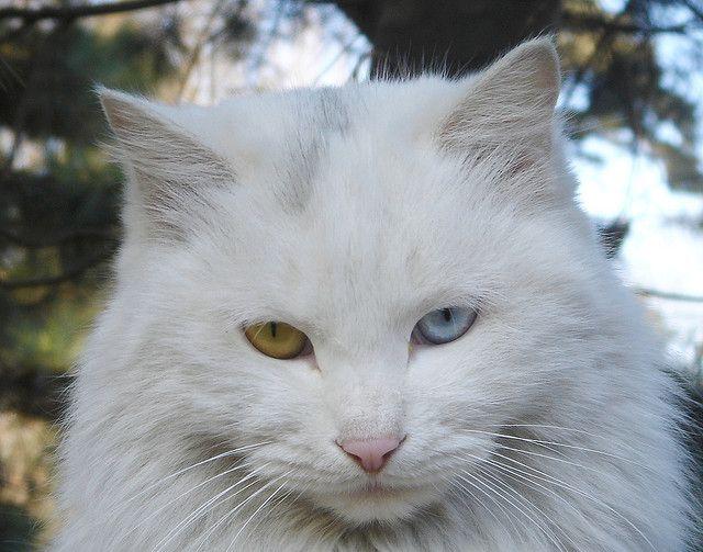 Persian Cat Persian Cat White Cat Breeds Cute Cat Breeds