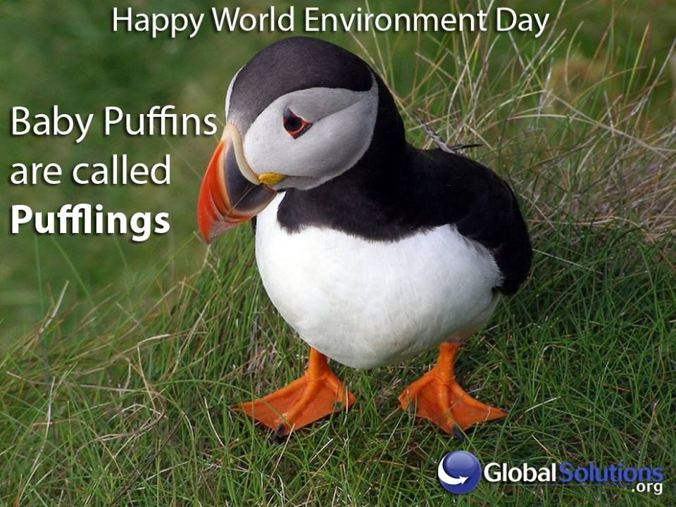 Baby puffin are called Pufflings! | Puffins bird