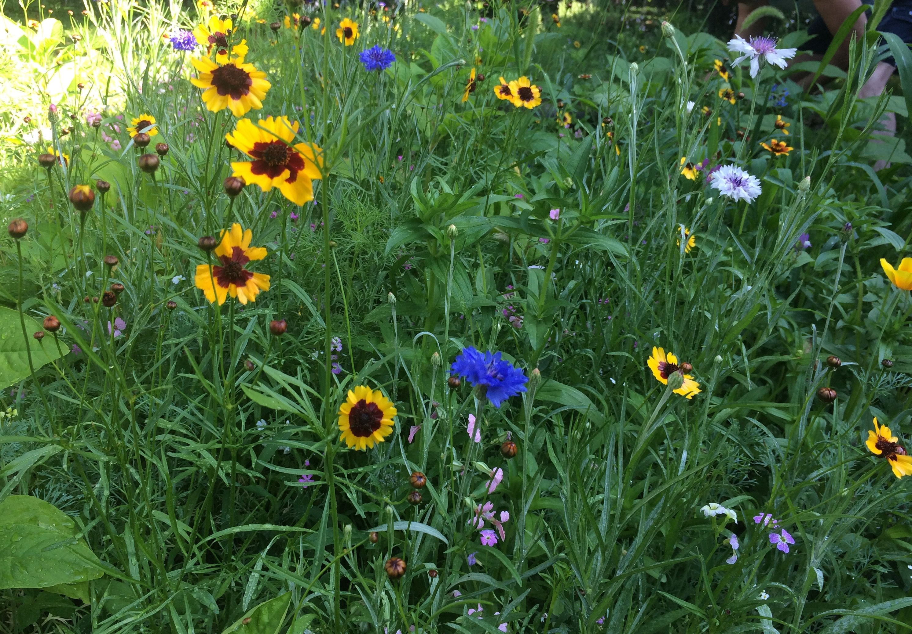 In Our Butterfly Garden This Year We Bought A Mix From Pennington,  Hummingbird And Butterfly