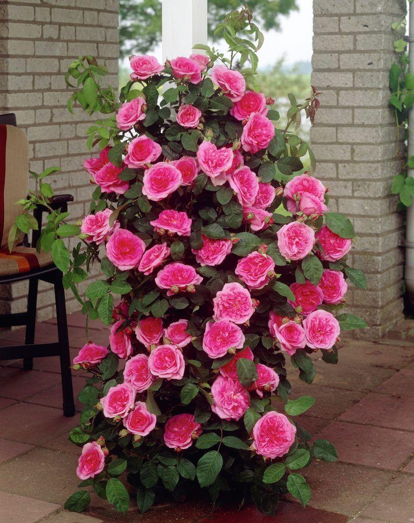 gertrude jekyll pinterest english roses clematis. Black Bedroom Furniture Sets. Home Design Ideas