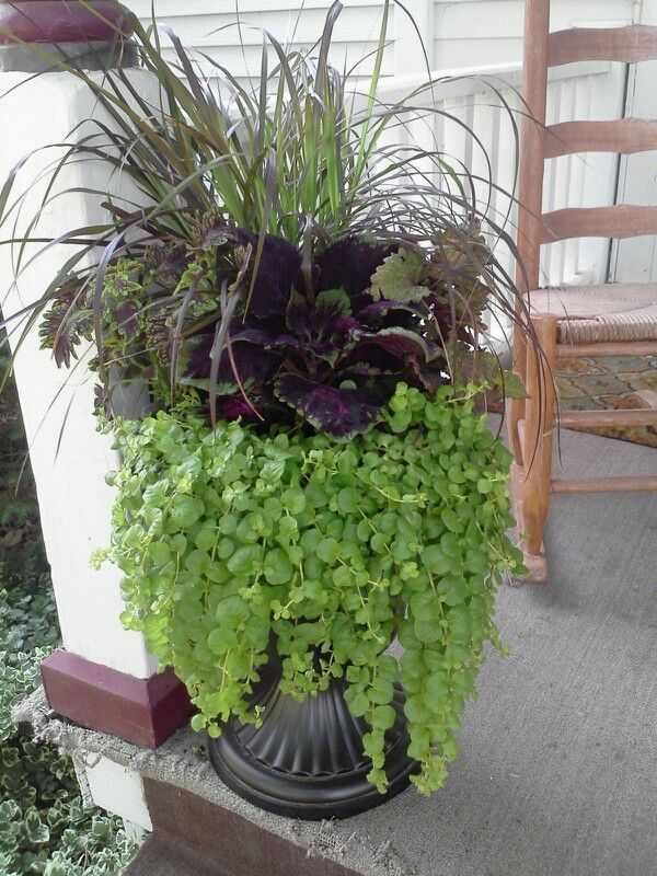 Purple fountain grass coleus and creeping jenny in urn for Fountain grass landscaping ideas