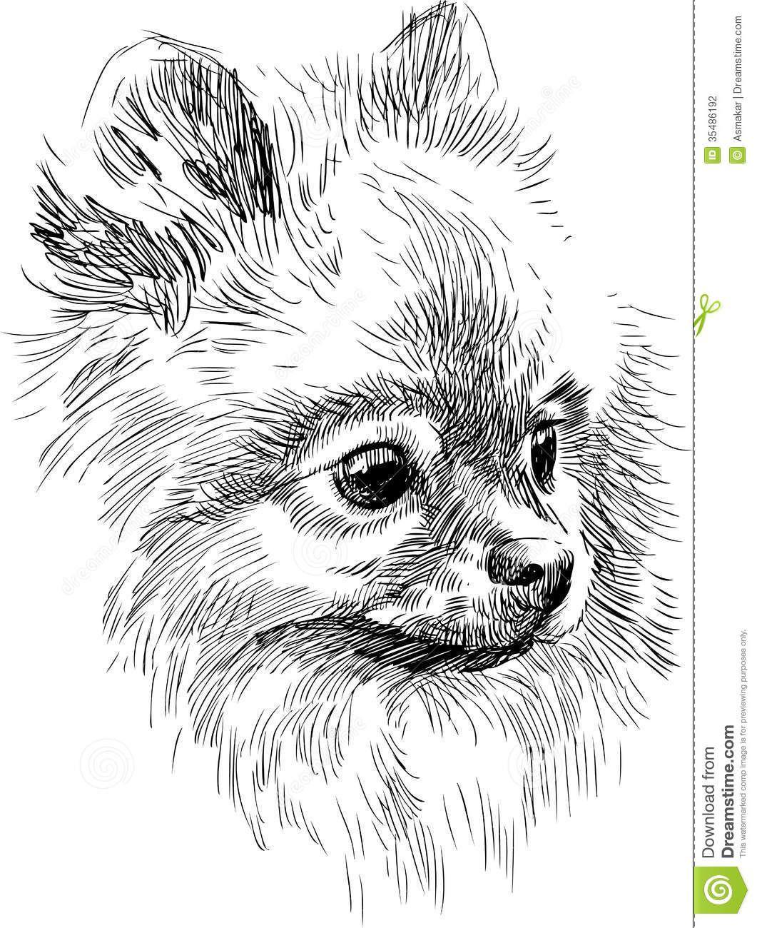 Pomeranian Puppy Sketches