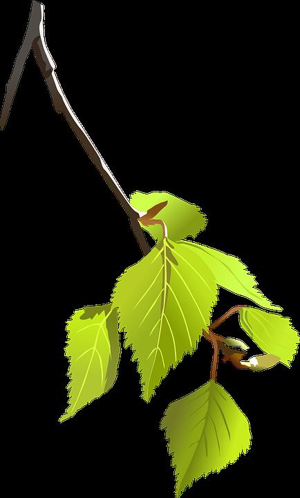 Imagen gratis en Pixabay - Abedul, Rama, Hojas, Planta | Abedul ...