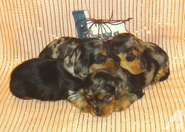 Dapple Akc Mini Dachshund Puppies Dachshund Puppies For Sale