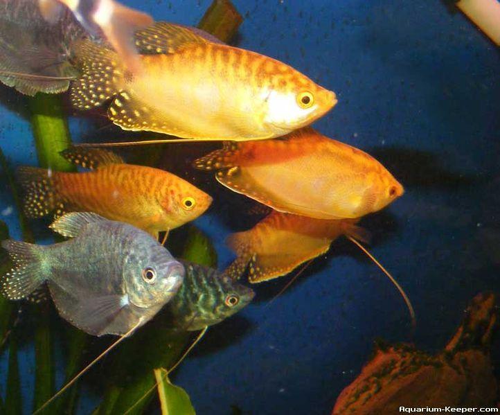 3 Spot Gouramis Tropical Fish Aquarium Fish Aquarium Fish