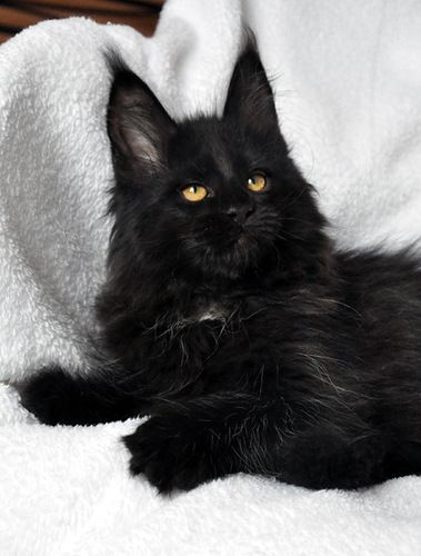 Black Kitten. Look at the ears. Looks like there could be ...