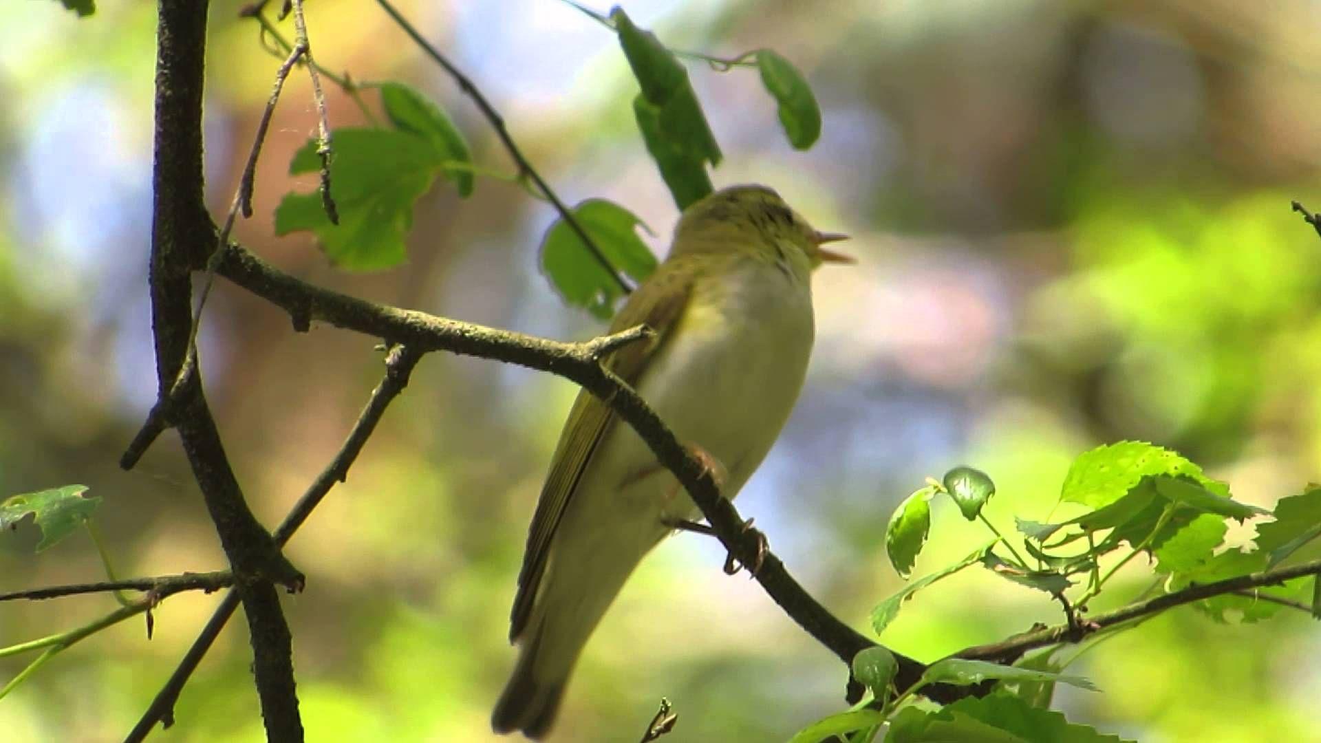 Wistunka Le Na Phylloscopus Sibilatrix Wood Warbler