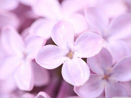 Purple Images Lilac Flower Hd Wallpaper And Background Photos Spring Flowers Wallpaper Lilac Flowers Beautiful Flowers