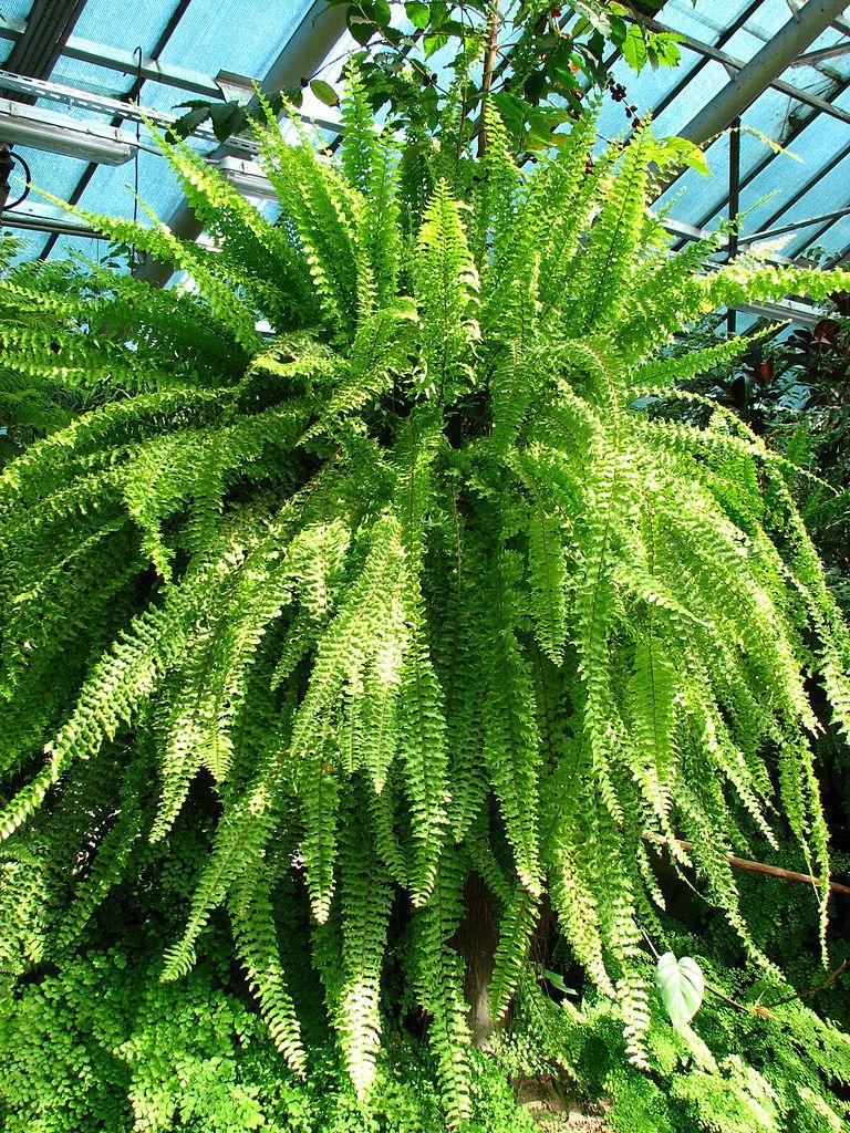 Boston fern boston ferns ferns garden projects