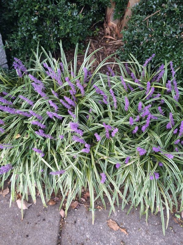 Monkey Grass Liriope Muscari Your Plant Appears To Be A