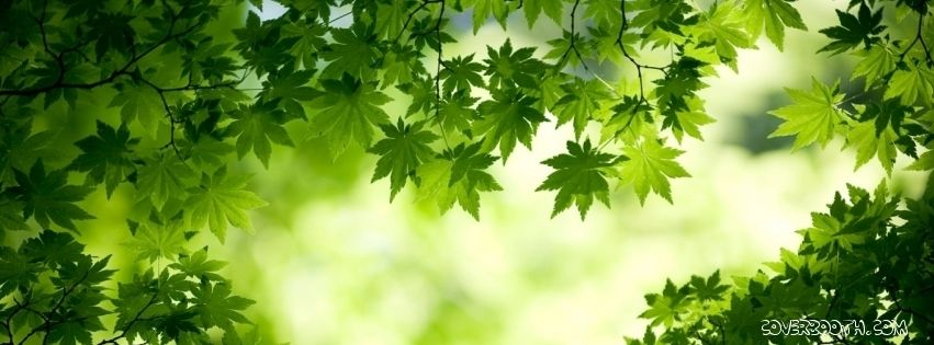Green Maple Leaves Morning Light Nature Cool Facebook Timeline Covers Stunning Wallpaper