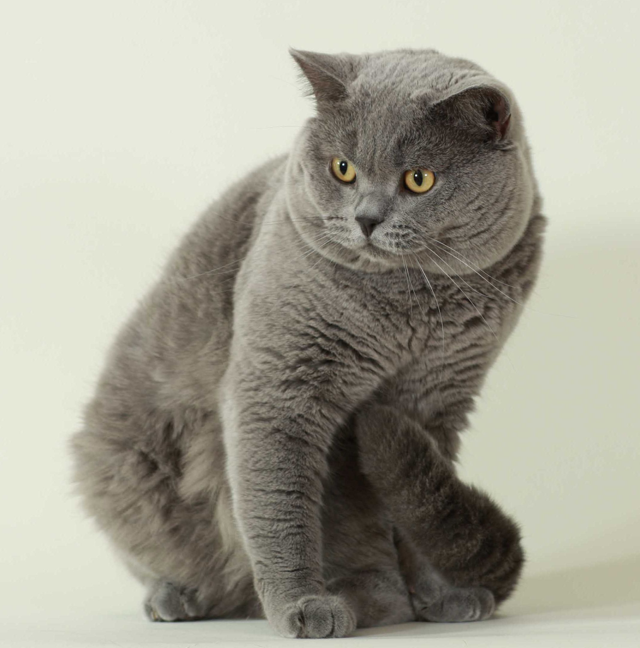 British Shorthair Calm And Quiet Not Prone To Acrobatics Or