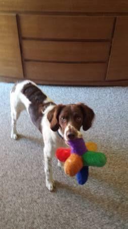 Coflood Copets Found Dog Male Spaniel In Westminster Sheridan