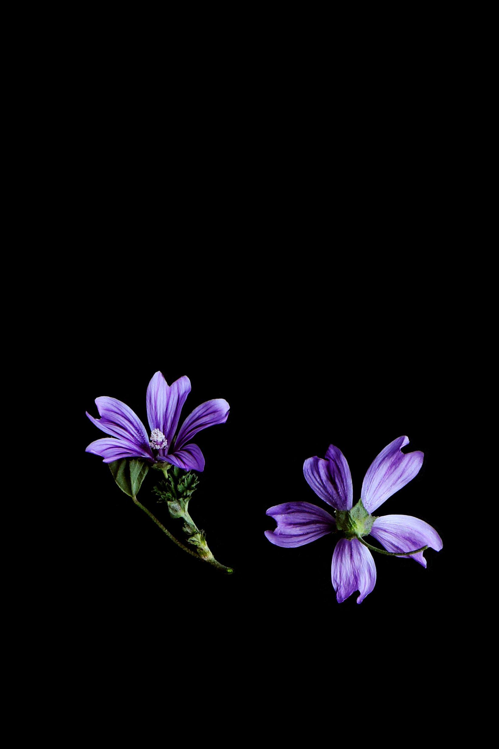 Mauve Still Mary Jo Hoffman Dark Flowers Purple Flowers Wallpaper Black Background Wallpaper