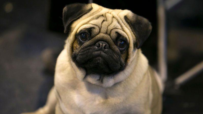 Funny Small Doghttps Imgur Com 6nlhkfo Pug Dog Pug Puppies